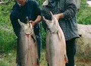 alaska-king-salmon-23